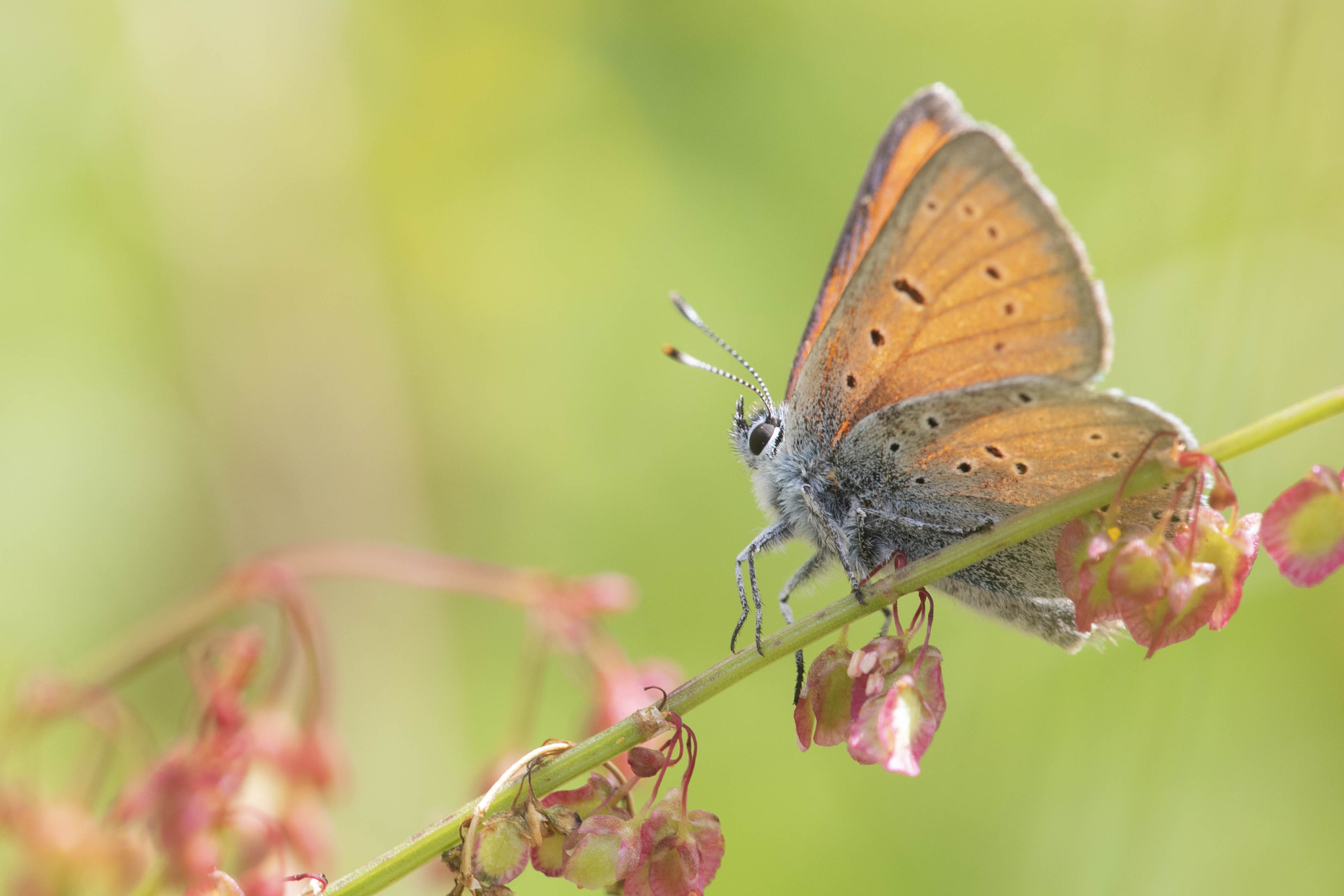 Purple edged copper  (Lycaena hippothoe)